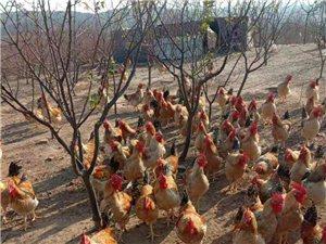 出售散养红公鸡,芦花鸡