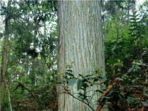 莎杉木出售