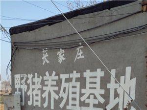 无极县野猪养殖基地