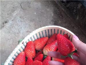 綠都果蔬采摘園草莓采摘