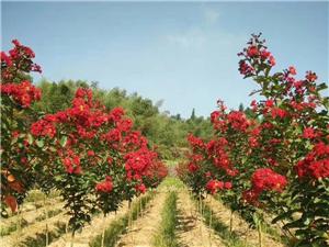 自己苗圃出售冬青,美國紫薇,茶花,香樟