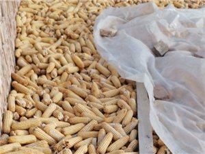 18吨干玉米急售