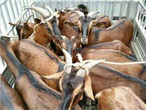 麻羊出售各种规格