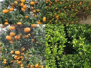 柑橘樹苗,紫薇,桂花,桃樹苗,茶花,羅漢松