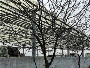 现有皂角树数颗,低价出售,有意购买者联系