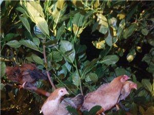 散养小种母鸡