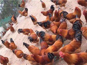 走地雞大閹雞