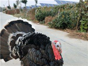 出售火鸡儿35一只13598907545