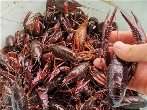 鲜活小龙虾直供