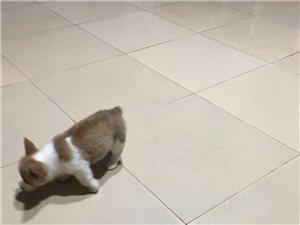 出售柯基母狗1500