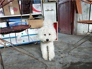 賣白色比熊犬