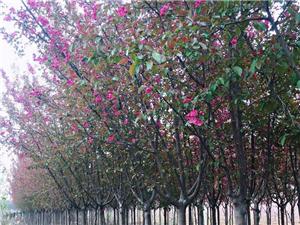 自家種的海棠法桐出售