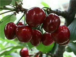 张庄大樱桃熟了