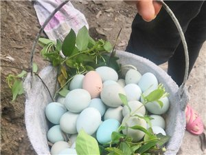 农家散养绿壳鸡蛋