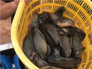 儋州硬头鱼