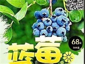 清草塘有机蓝莓采摘开始了
