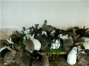 肉兔销售大的有(6斤以上)小的满月疫苗已打好养