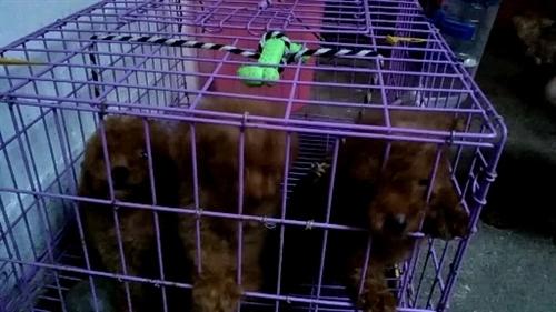 家养公母两泰迪犬,现己放小泰迪三只,二公...