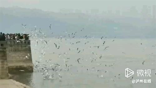 泸州又来了一大群海鸥,快去看~~!网友李...