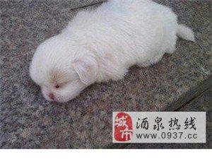 家里一只白色狗狗有爱狗人士收养吗