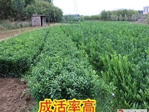 柳州果树苗出售、柳州哪里有果树苗买、柳州果树苗