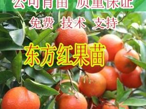桂林东方红柑橘苗批发_桂林哪里有东方红柑橘苗卖_桂林东方红柑橘苗
