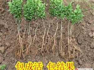 桂林柑橘新品种东方红苗供应/桂林哪里有柑橘新品种东方红苗买&桂林柑橘新