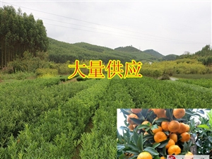 桂林黄金柑果苗供应/桂林哪里有黄金柑果苗卖/桂林黄金柑果苗