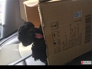 家养泰迪 快两个月了,想买的朋友进来看狗。便宜处理。
