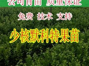 桂林哪里有少核默科特苗批发基地