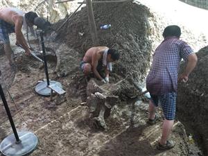 临泉县王郭庄发现大概10年左右大象化石,专家已经确认了.