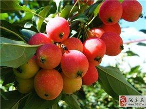 陡坡乡首届海棠果采摘节时间安排