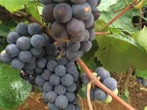 大邑特百惠――――葡萄酵素的功效和作用