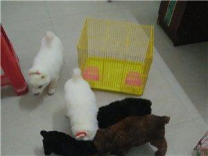 低价贱卖3只小泰迪和2只萨摩耶犬