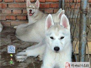 忻州最适合男孩养的最帅气的狗狗 精品哈士奇