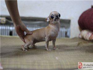 忻州《吉娃娃专卖》出售纯种吉娃娃 金鱼眼小可爱吉娃娃犬