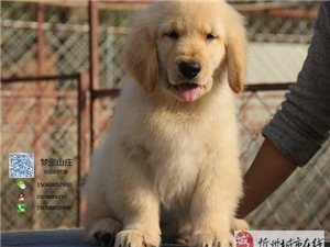 忻州温顺可爱的小金毛、绝对是你喜欢的范儿