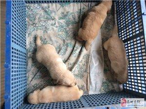 血统金毛幼崽(20天)出售三公一母