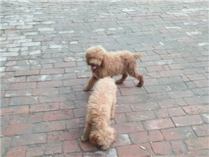 出售高品质短嘴圆头小体泰迪幼犬,标准贵宾幼犬