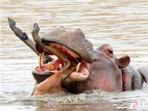 并非素食者!南非河马将死去黑斑羚当玩具