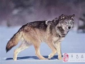 狼 的爱情