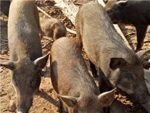 宗海乡的特色野猪肉,味道巴适得板!!!