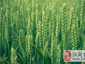 河间市冬小麦施肥配方介绍