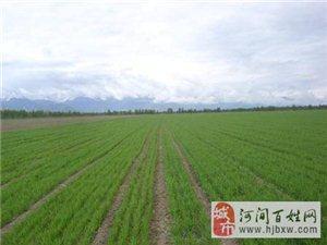 河间市冬小麦春季施肥意见