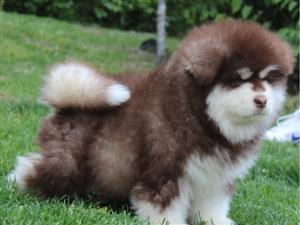 出售阿拉斯加雪橇犬宝宝品相完美活泼健康