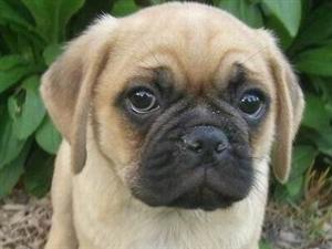 出售纯种超可爱巴哥幼犬鹰版巴哥宝宝
