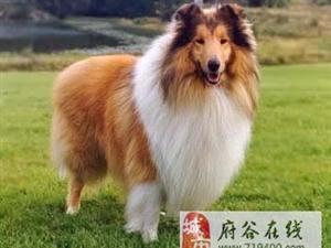 好想养一只大狗狗,我给大家科普科普大型犬的知识