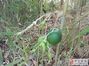 竹子开花不稀罕,神奇的是农村这棵竹子结果了!村民说百年一遇