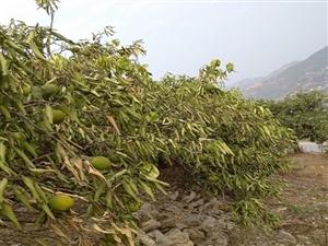 奉节这个地方近2个月没下雨了,广柑树都耗尽生命的等待