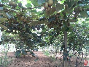 杨凌成品猕猴桃园出售